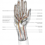 Hand dissection Jenny Smith