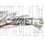 Anatomy of the left forearm in pronation by Maria Socias