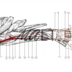 Arteries of the left forearm in pronation by Maria Socias