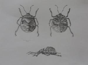 Bug study in pencil by Emily Paul