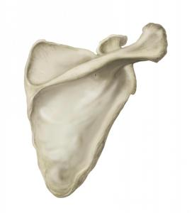 Scapula in Photoshop