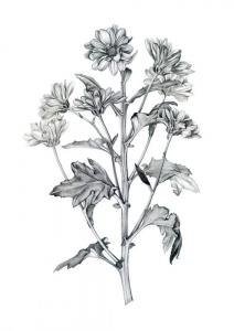 Plant illustration by Ellen Lever