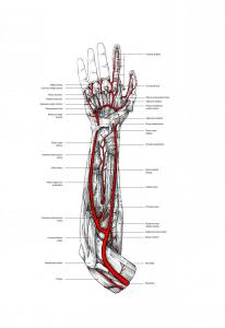 forearm dissection