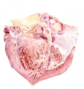 Heart dissection in watercolour by Catherine Sulzmann