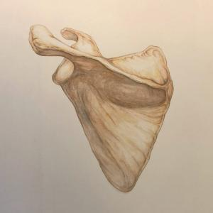 Scapula in watercolour by Billy Leung