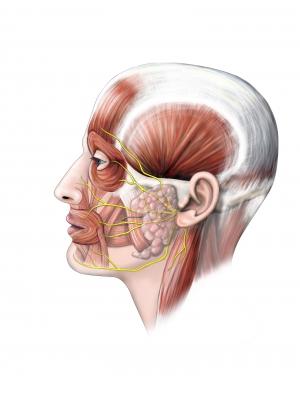 facial nerve2